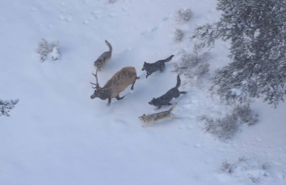 Members of the Druid wolf pack chase a bull elk in Yellowstone.  Photo: NPS/Doug Smith, public domain.