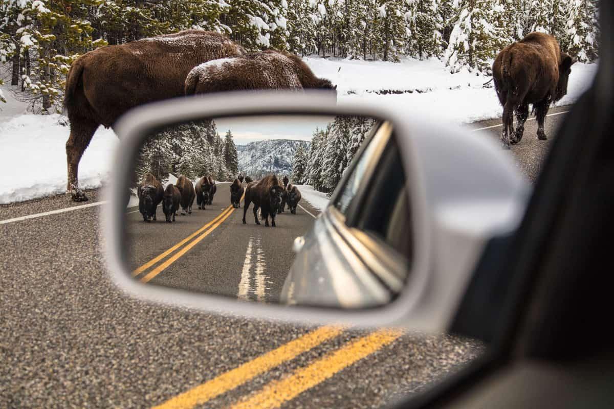 Bison jam near Madison Junction.