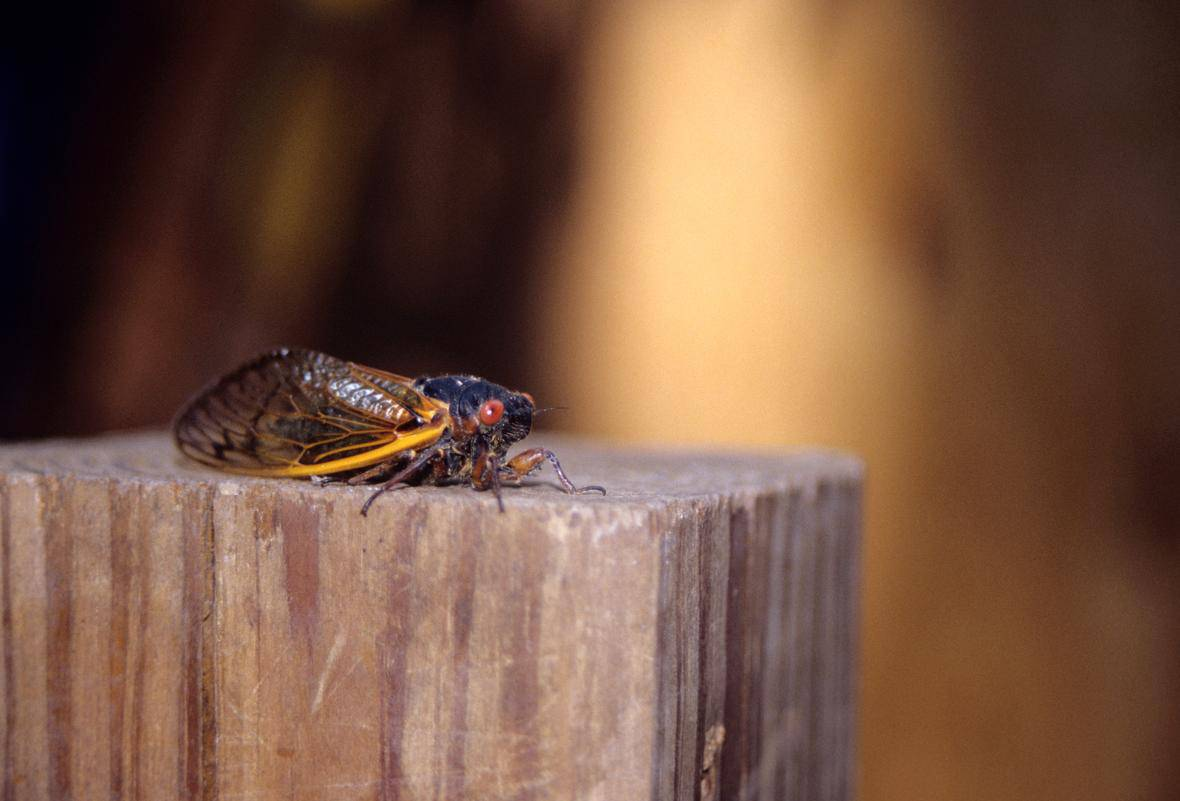 Cicada on a wooden post. Cicadas (Cicadidae, Magicicada) are 13- and 17- year periodical cicadas of North America. Photo: John J. Mosesso, USGS. Public domain.