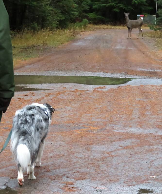 Photo of a border collie walking towards a deer.
