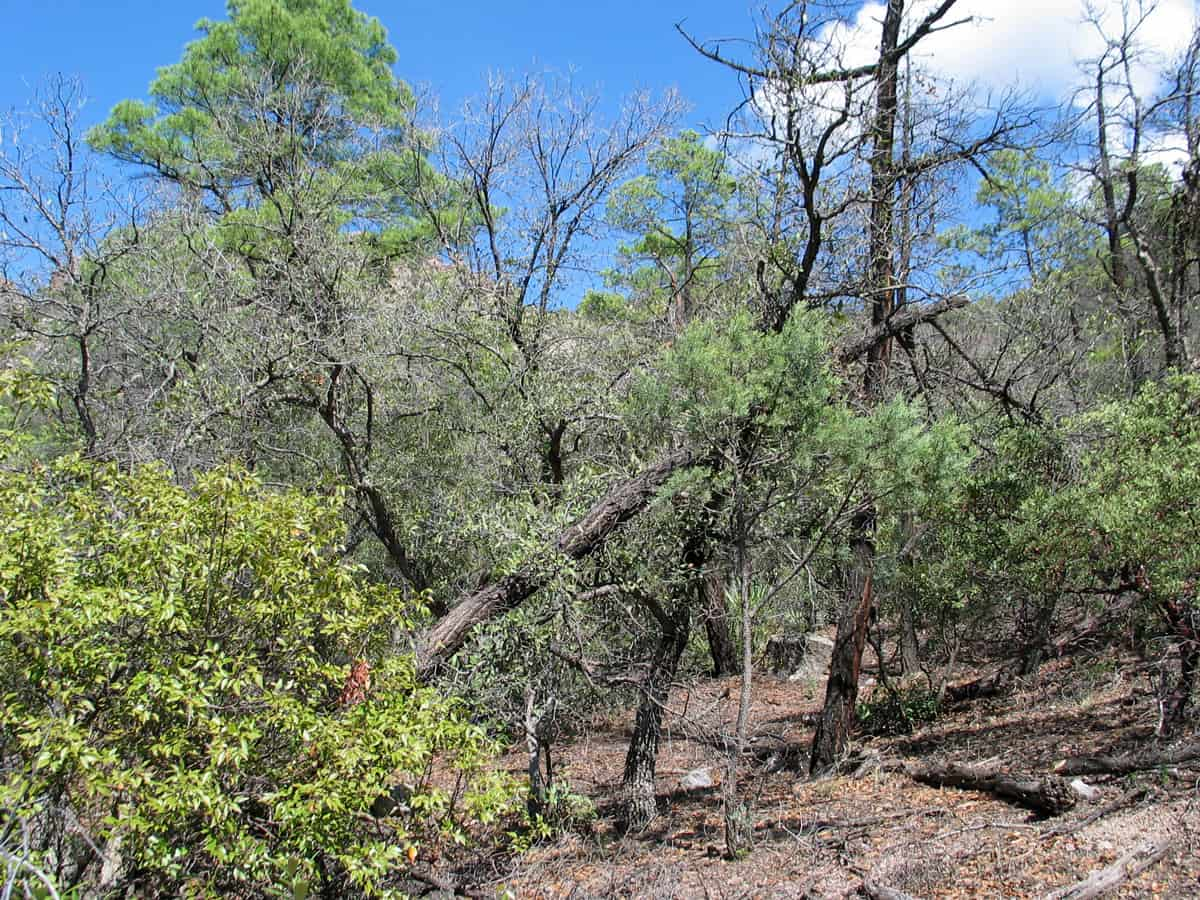 Enclaves of Madrean pine-oak woodlands are found at higher locations.  Photo: Madrean evergreen woodland, Chiricahua National Monument, National Park Service.