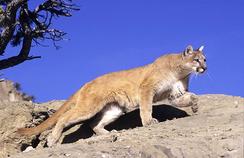 Photo of a mountain lion walking on a rock.