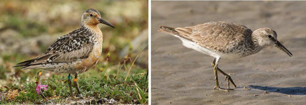Red knots and many other shorebirds travel thousands of miles from breeding grounds in the Arctic (left) to nonbreeding grounds in Latin America (right). Julián García Walther, CC BY-ND.