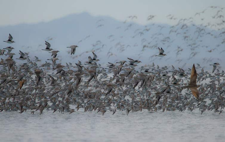 Shorebirds gather by the thousands at important feeding and resting areas, but how individual birds move among sites remains a mystery. Julian Garcia-Walther, CC BY-ND.