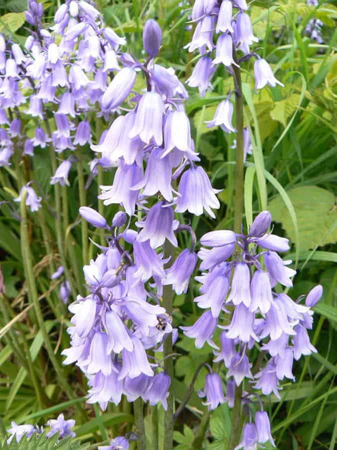Spanish Bluebells have escaped into the wild in the UK. Photo: Ian Rotherham, Author provided.